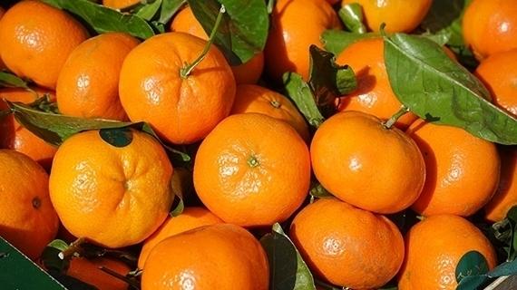 MSC, socio de la Cámara Chileno Suiza, realiza por primera vez el envío de Clementinas desde Chile a China.